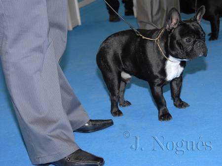 Este domingo hemos asistido a la primera asamblea de la Asociacion Española para el Fomento a la Raza Bulldog Frances